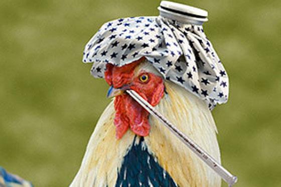 Птичий грипп возвращается