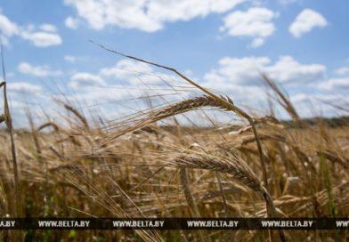 В Брестской области пересеют 26,5 тыс. га зерновых