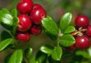 В Беларуси установлены сроки сбора клюквы и брусники