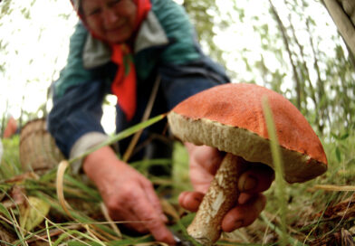 Радиационный контроль дикорастущих грибов и ягод в Кобринском районе